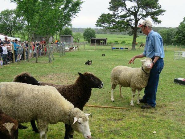 Taylor-Bray Sheep Festival